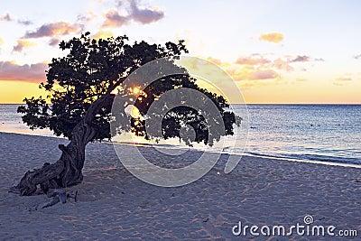 Dividivi tree on Aruba