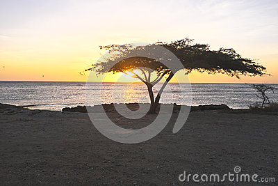 Dividivi tree on Aruba