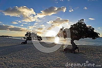 Dividivi trees on Aruba