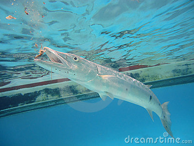 Diving with barracudas