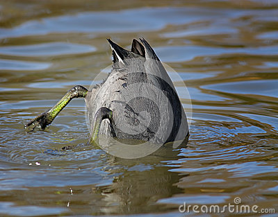 Diving Coot