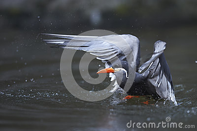 Diving inca tern