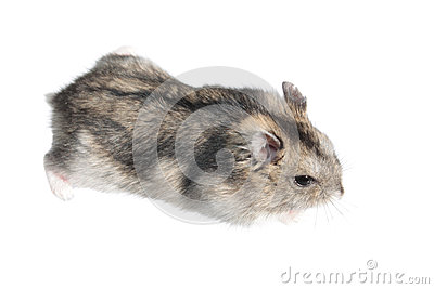 Djungarian hamster isolated on white