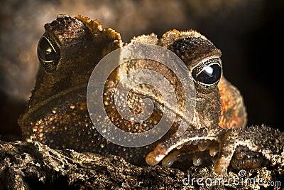 Djur stor tät krönad ögonpadda upp wild