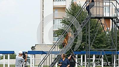 Dnipro, de Oekra?ne 7 Augustus, 2018: Het beklimmen van de treden op hinderniscursussen bij 3d nationaal kampioenschap van honds  stock video