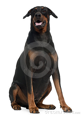 Doberman, 5 years old, sitting in front of white