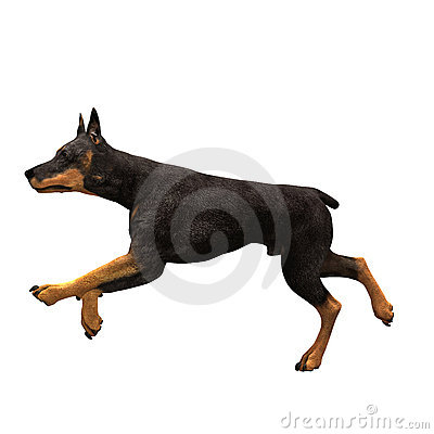 Free Doberman Dog Running Royalty Free Stock Photography - 2113007