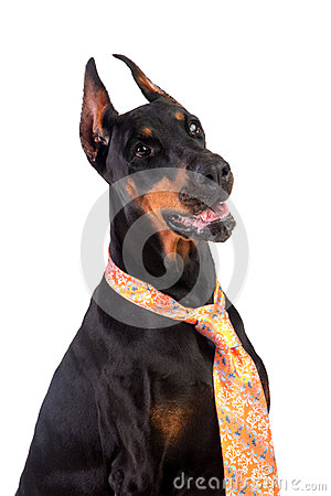 Doberman dog in a tie