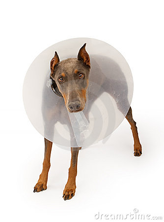 Doberman Dog Wearing a Cone