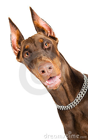 Free Doberman Isolated Over White Stock Image - 16886971
