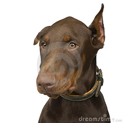 Free Doberman Pinscher (4 Months) Stock Photography - 6074932