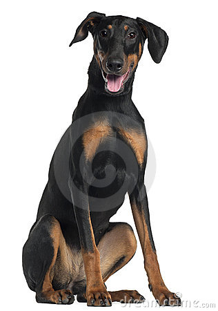 Free Doberman Pinscher, 8 And A Half Months Old Royalty Free Stock Image - 20378946