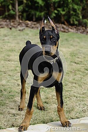 Free Doberman Pinscher Puppy Stock Photos - 28289963