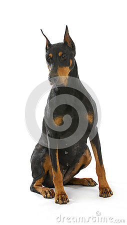 Free Doberman Pinscher Sitting Royalty Free Stock Photo - 28016085
