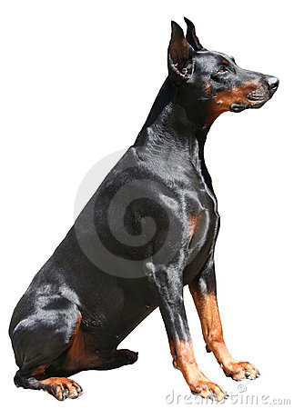 Free Doberman Sitting Royalty Free Stock Photography - 6283407