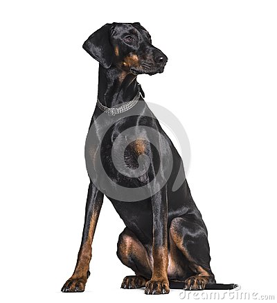 Free Doberman Sitting In Studio Against White Background Royalty Free Stock Images - 113970679