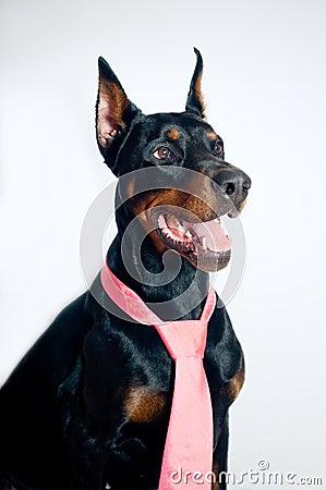 Doberman wearing pink tie