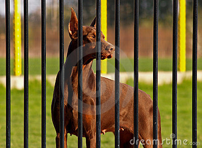 Dobermann Behind Bars