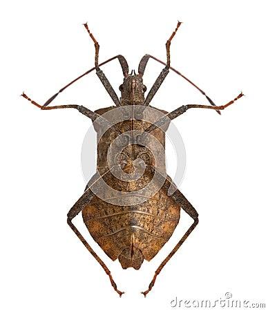 Free Dock Bug, Coreus Marginatus Royalty Free Stock Images - 16563449