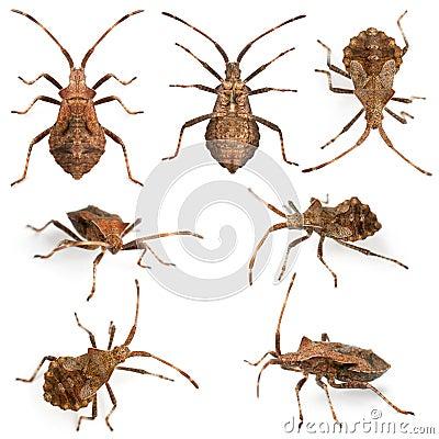 Free Dock Bugs, Coreus Marginatus, Species Of Squash Stock Images - 22629244