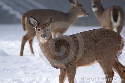 Doe in closeup