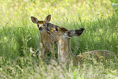 Doe and Fawn - A Mother s Love