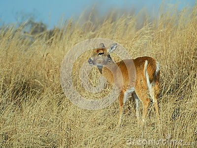 Doe in high grass