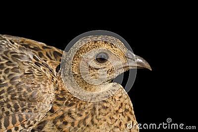 Doe of pheasant 2