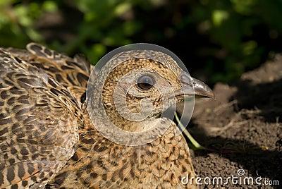 Doe of pheasant 5