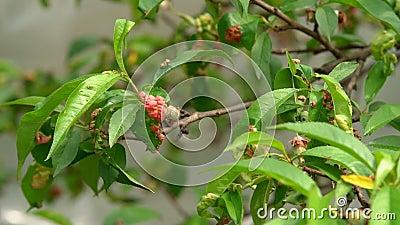 Doença da folha da planta filme
