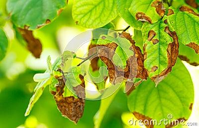 Doen a de rvores de fruto foto de stock imagem 42108081 for Eleagnus maladie feuilles jaunes