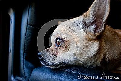 Chihuahua dog on chair