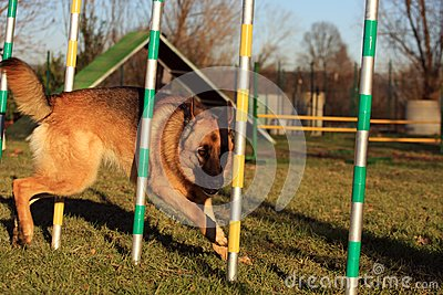 Dog in agility