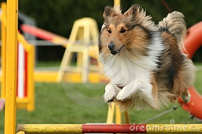 Dog in agility competition jumping over obstacle