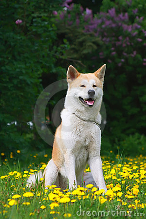 Dog,  Akita Inu Sits on a glade in dandelions