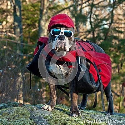 Free Dog Backpack ....Traveling Bulldog Stock Photography - 38523242
