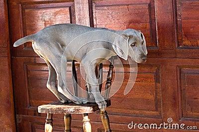 Dog balancing on chair