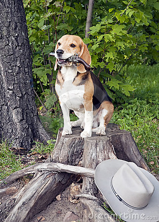 Free Dog Beagle Stock Images - 22614364