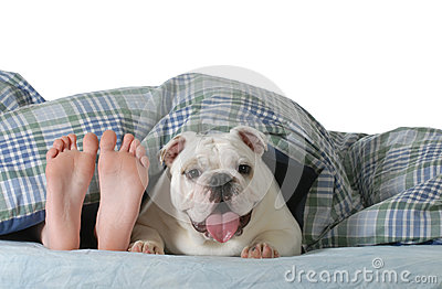 Dog in bed royalty free stock photography image 38177427 for Dog bed beside bed