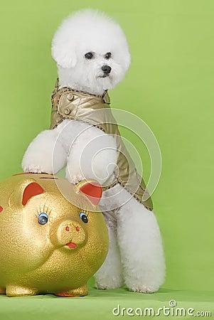 Dog Bichon puppy
