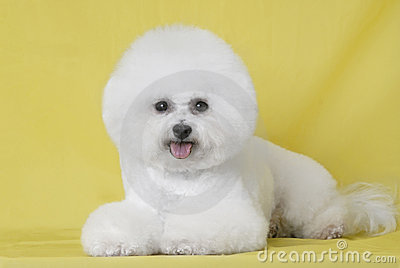 Dog Bichon puppy