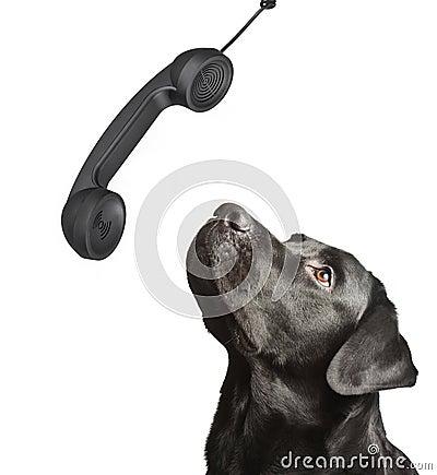 Free Dog Black Labrador Looks Upwards Royalty Free Stock Image - 15908346