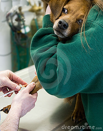 Dog Blood Drawn at Vet