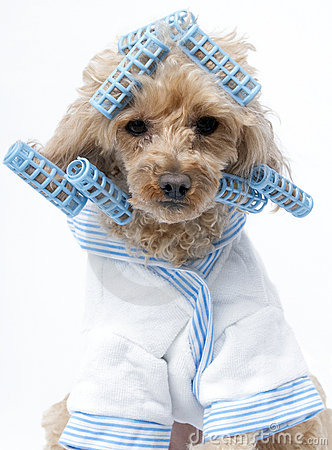 Dog in Blue Curlers