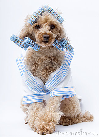 Dog in Blue Curlers and Bathrobe
