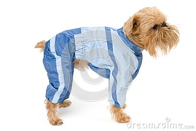 Dog in a blue jacket.