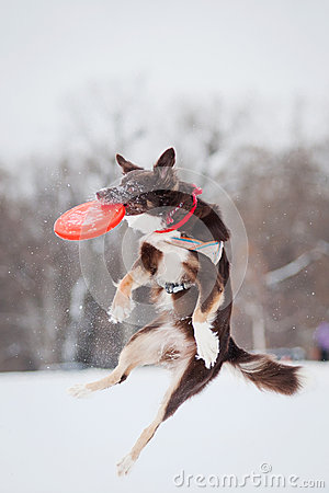 Dog jumping and catching a flying disc in mid-air