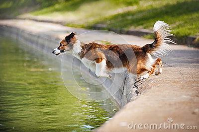 Dog border collie jumps into the water