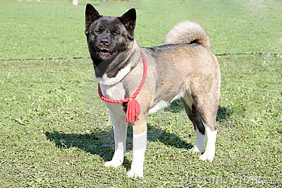 Dog of breed akita-inu