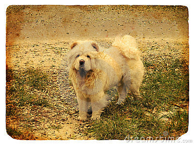 Dog breed Chow Chow. Old postcard